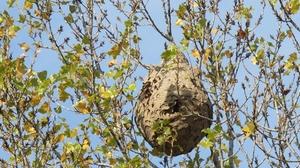 frelon asiatique et recherche de nids viriville. Black Bedroom Furniture Sets. Home Design Ideas